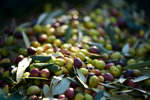 Decresase in olive for oil production - January 2019