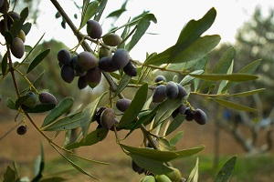Production of olive for olive oil drops 25%